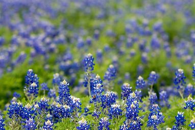 beautiful-blossom-bluebonnet-998065.jpg