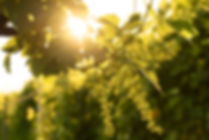Dan Fry - Prosecco Grapes - Sunset - Ori