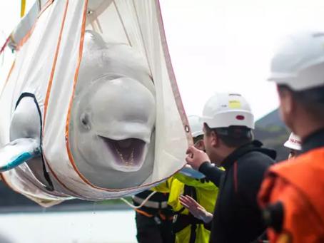 Deux bélugas sont sauvés du spectacle d'animaux dans un aquarium chinois !