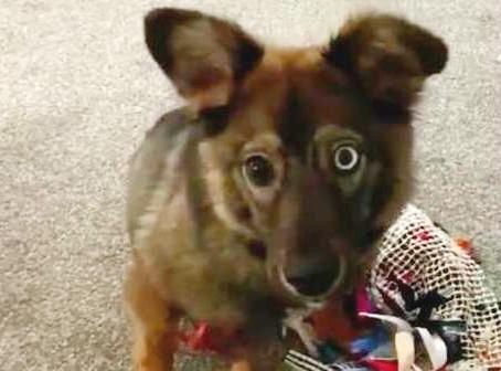 Une chienne handicapée se rend compte qu'elle a été adoptée par son foyer d'accueil