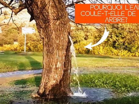 VIDÉO:Pourquoi l'eau coule-t-elle de cet arbre au Monténégro?