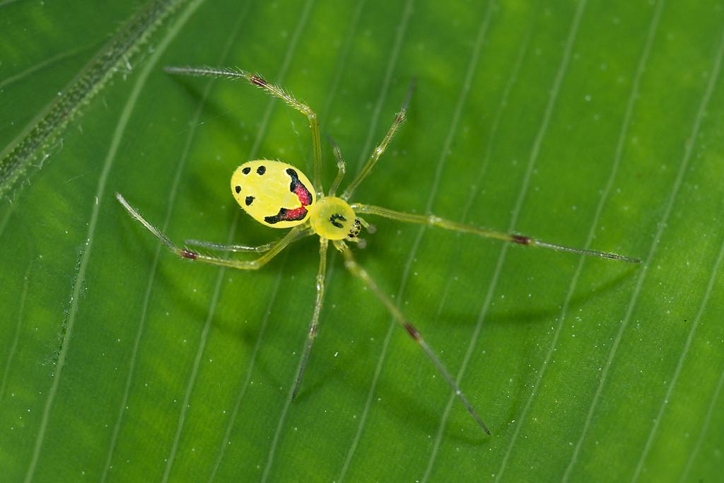 Hawaiian-Happy-Face-Spider.jpg