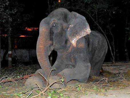 Un éléphant pleure des larmes de joie après avoir été sauvé de 50 ans de souffrance et d'abus !