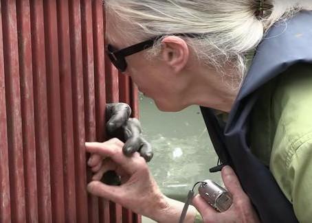 Le geste émouvant d'un chimpanzé envers son sauveteur lorsqu'il voit qu'il a été remis en liberté !