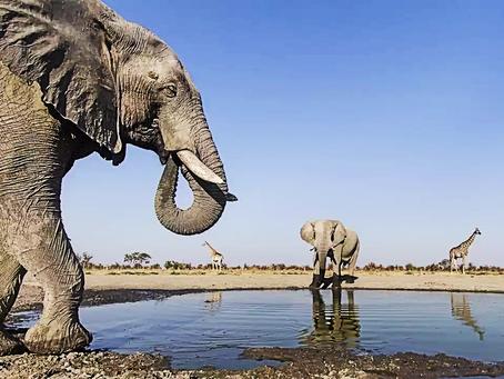Botswana : au moins 275 éléphants sont morts dans des conditions mystérieuses