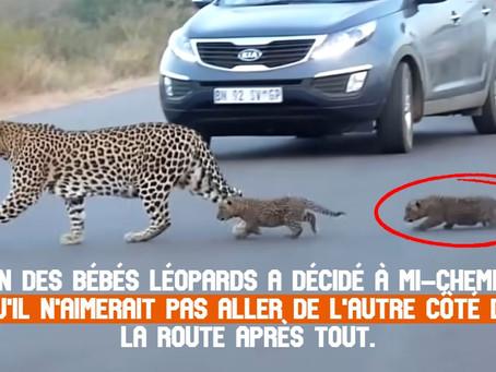 VIDÉO : Une mère léopard traversant la route avec ses deux bébés capturés par des images rares !