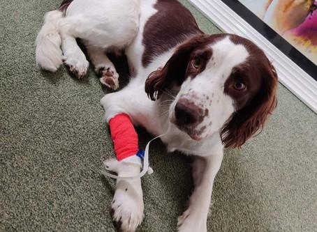 Un chien est décédé après avoir mangé deux épis de maïs traînant par terre !