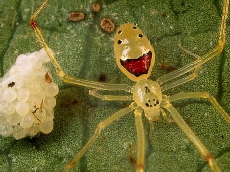 """Rencontrez l'araignée """"Happy Face"""", l'insecte qui pourrait faire sourire même les arachnophobes !"""