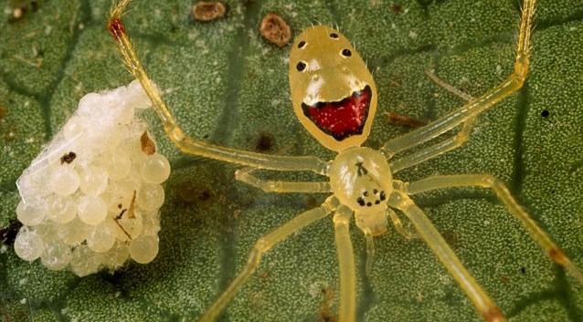 """Araignée """"Happy Face"""