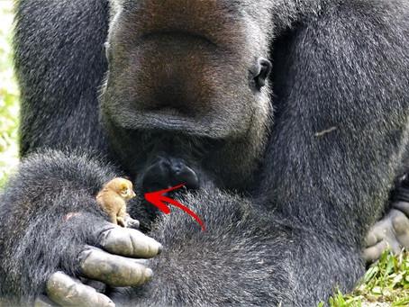 Un gorille  tient un petit primate dans sa main alors que les soignants regardent avec stupéfaction