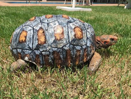 Une tortue blessée reçoit la première carapace imprimée en 3D au monde!