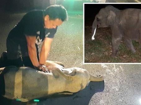 Un sauveteur a donné la RCR à un bébé éléphant et lui a sauvé la vie après un accident de moto