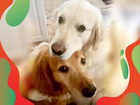 Une vidéo adorable : Ce golden retriever embrasse son frère pour s'excuser d'avoir volé son goûter