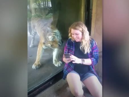 Une femme enceinte prends un selfie avec un tigre mais va fondre en larme en voyant ce qu'il fait !