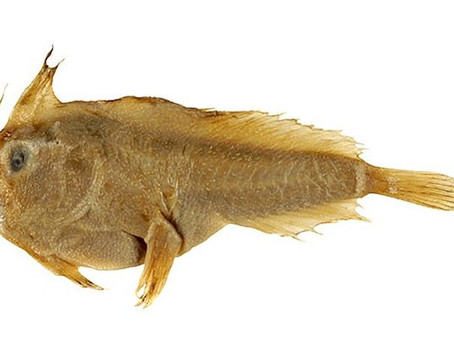Les scientifiques ont confirmé la 1ère extinction de poissons marins des temps modernes.