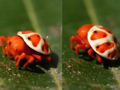 Cette araignée ressemble à une tortue orange!