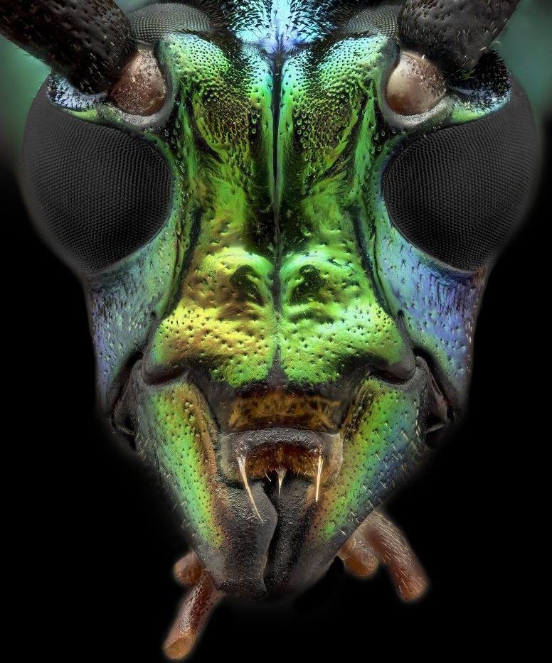 Lodhorn Beetle