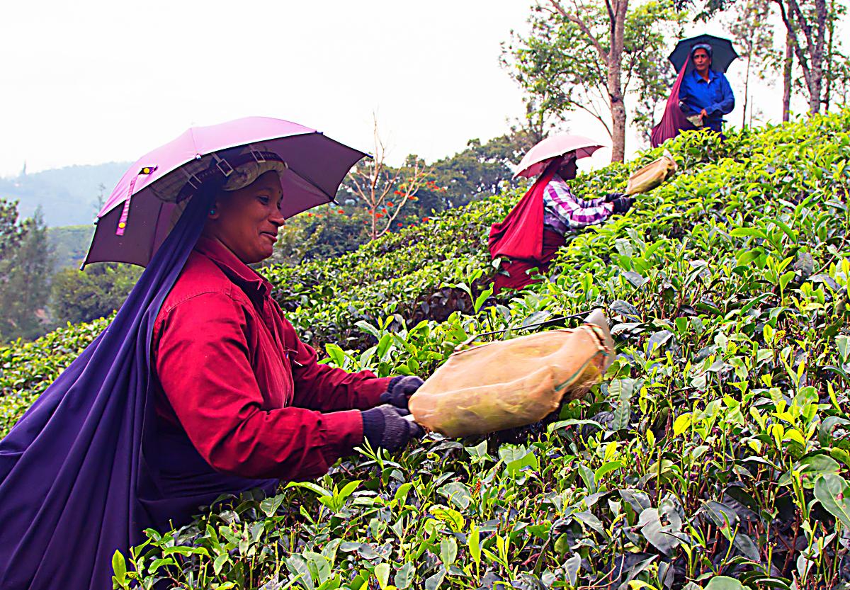 INDIEN Teeplantage FINEST-onTour 8161.jpg