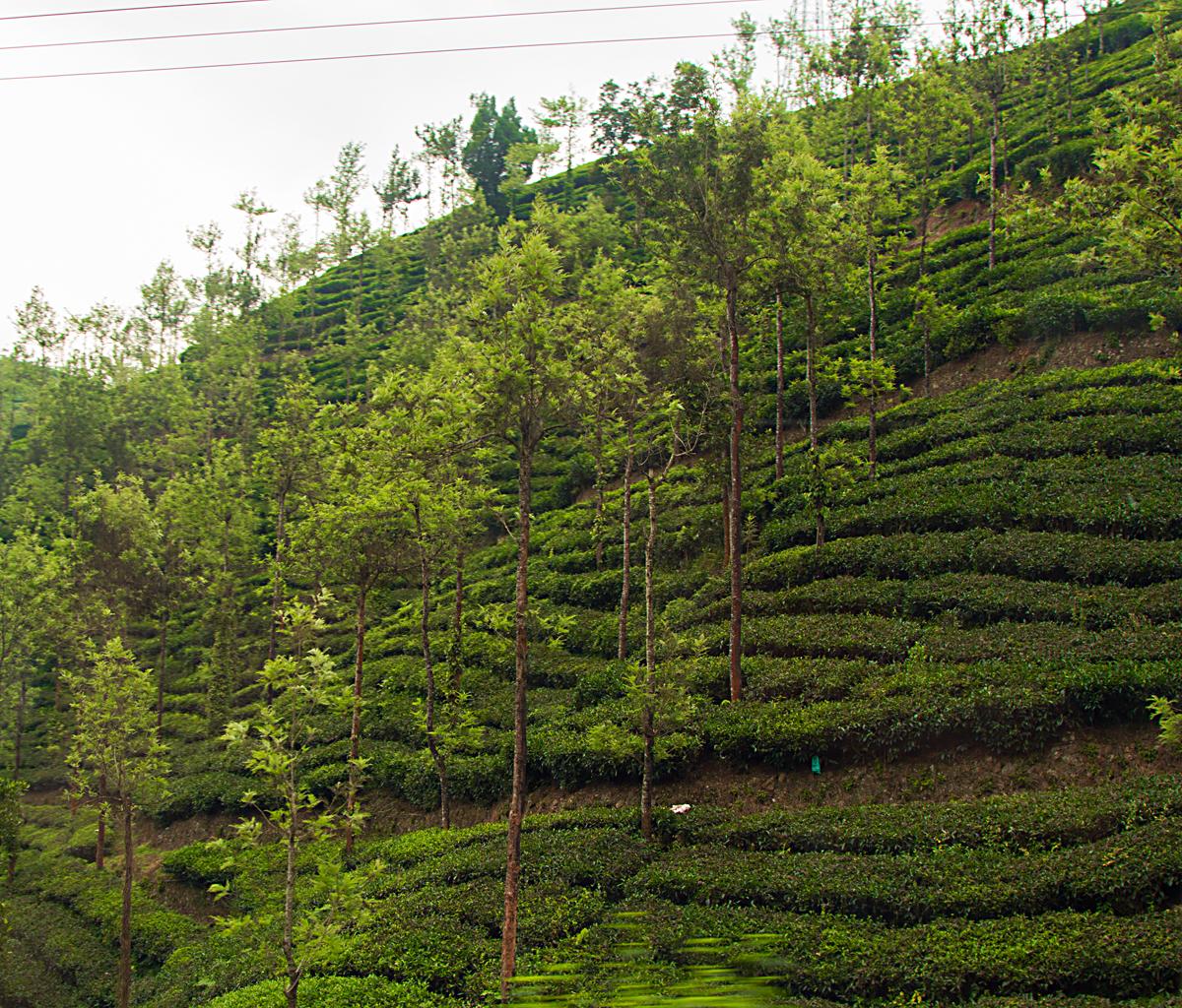 INDIEN Teeplantage FINEST-onTour 8125.jpg