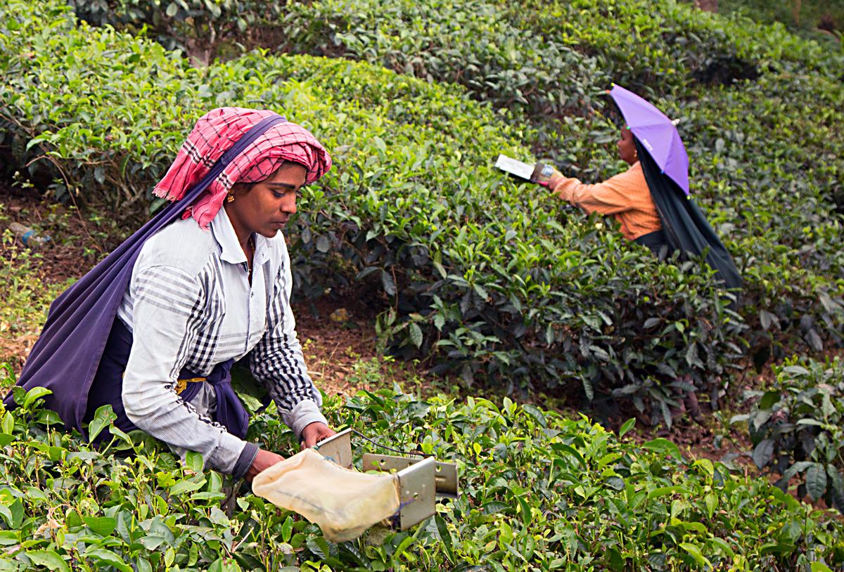 INDIEN Teeplantage FINEST-onTour 8171.jpg
