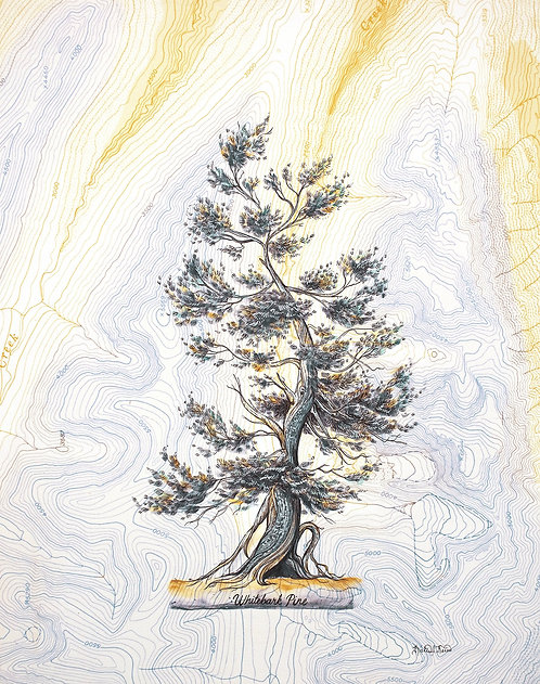 White Bark Pine Print
