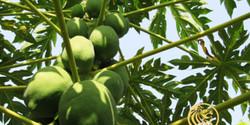 papaya-iceberry-400x200