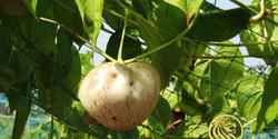 jain-potato-airpotato-400x200