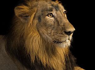 asiatic-lion_thumb.jpg