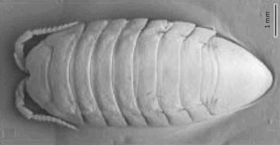 The local Lindsay Creek resident freshwater isopod, Austridotea benhami.