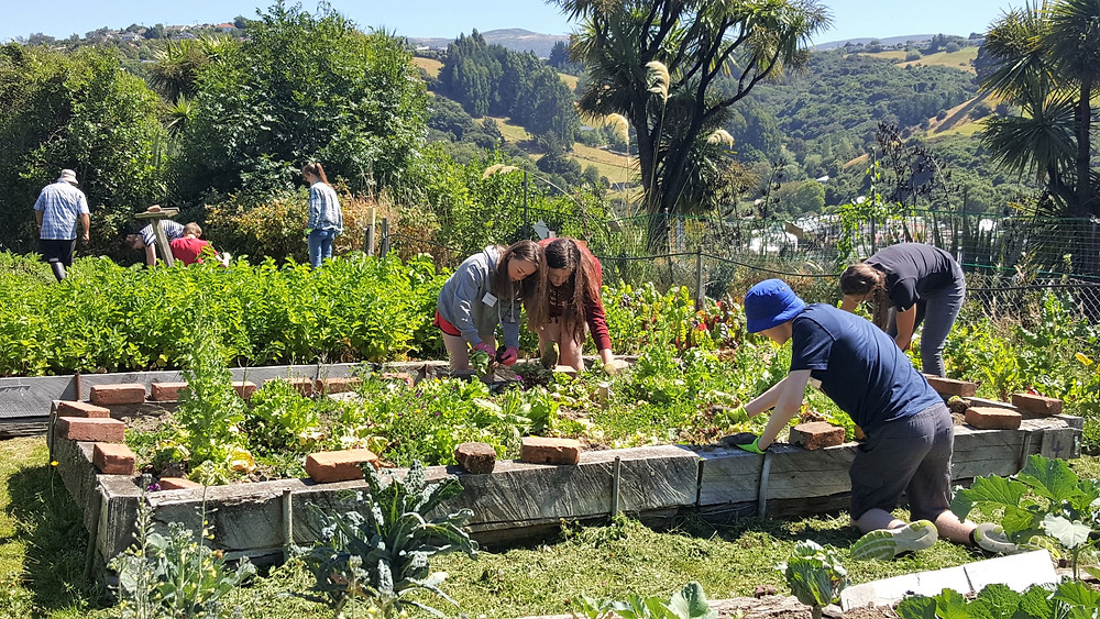 Enviroschool pupils weeding in the North East Valley Community Garden