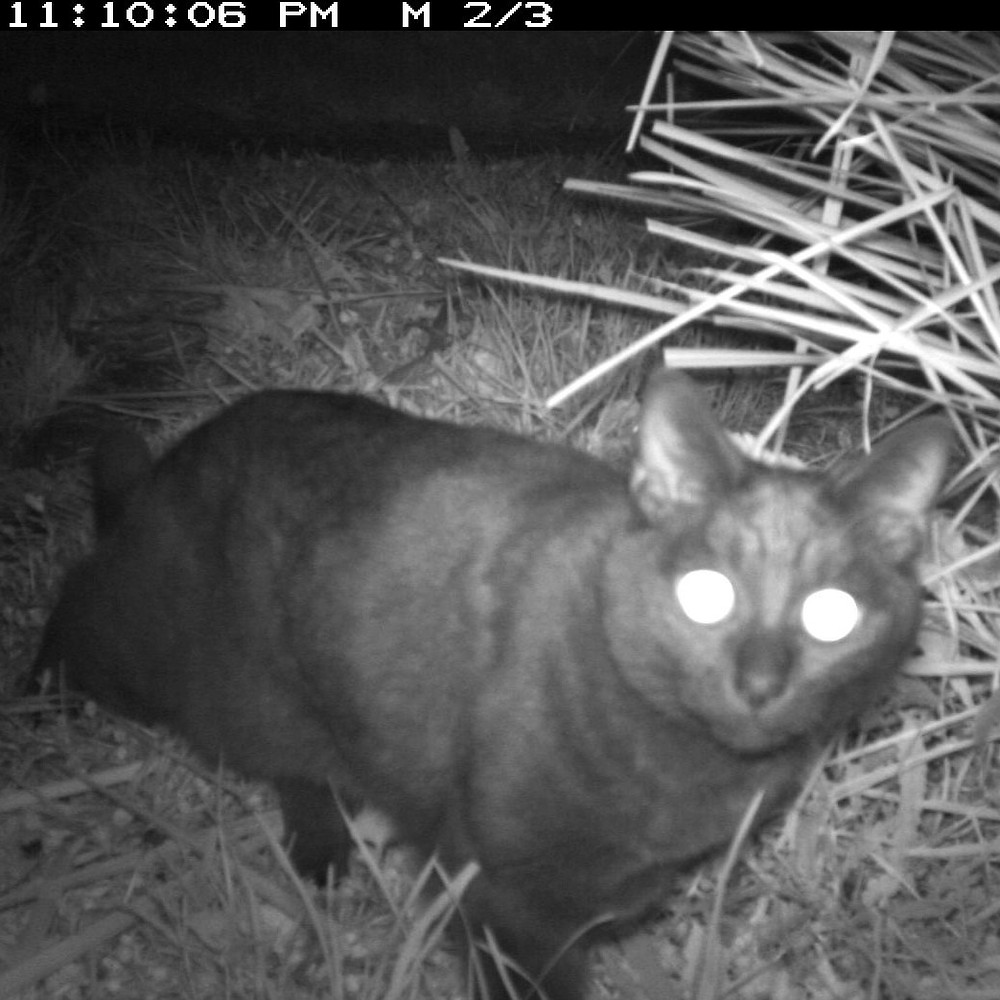 Cats were the most commonly captured mammal predator captured on backyard trail cameras as part of the Open VUE school projects