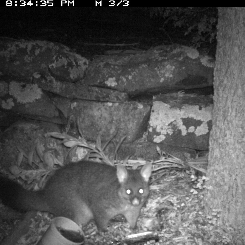 Possum captured on a trail camera set up in a backyard as part of the Open VUE school project.