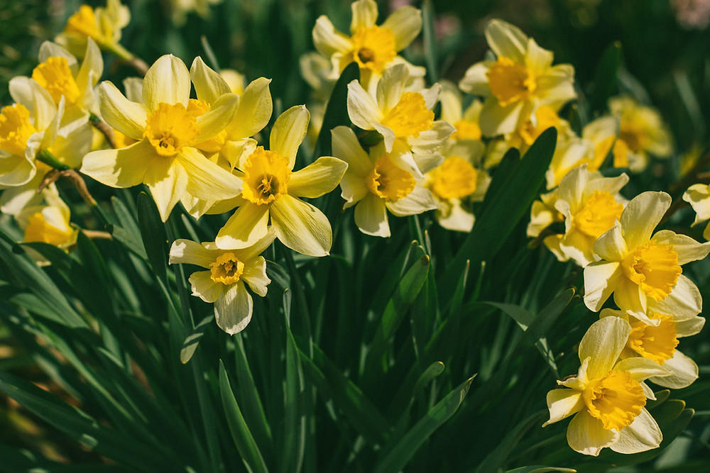 Yellow daffodils in a flower bed.