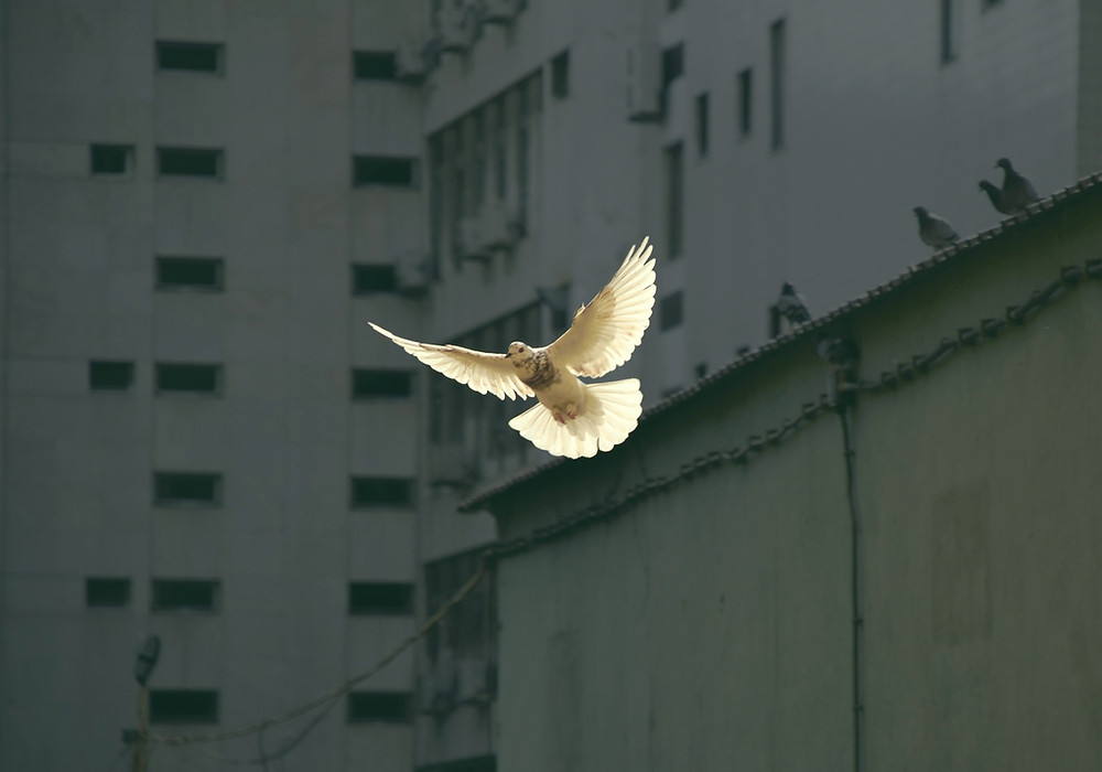 The dove of peace flying against a backdrop of industrial looking buildings.