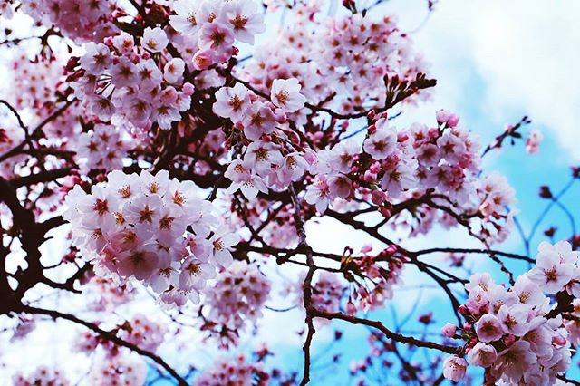 No flower even in world I guess can invite people from many many country  except Sakura that can make people gathering , make people lost  o