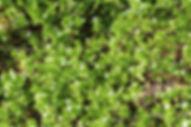 Vogelmiere (12).JPG