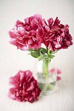 peony-flowers-P3LYWYQ.jpg