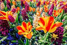 beautiful-multicolored-hyacinths-holland