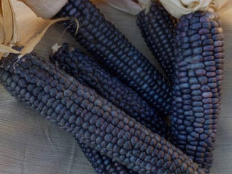 Blue Corn masa has to start somewhere. Visit us at Tuyas in Ferndale California