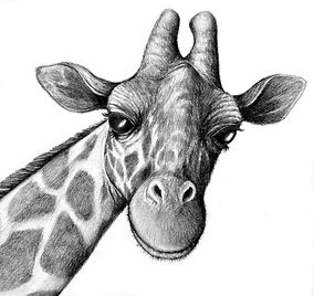 they-giraffe-pencil-drawing-first-appear