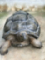 Aldabra Tortoise XiaoHei 01.JPG