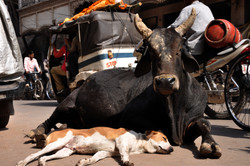 Proteção vaca