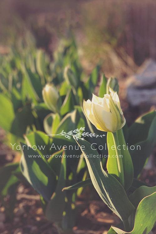 """""""Tulip"""" iPhone Background"""