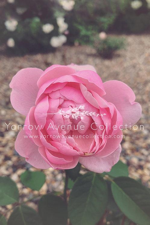 """Rose"" iPhone Background"