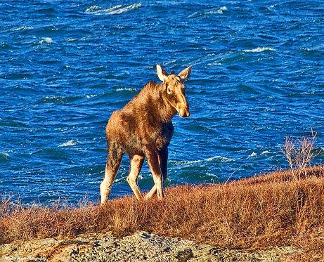 Eastport Moose by Susan Moore