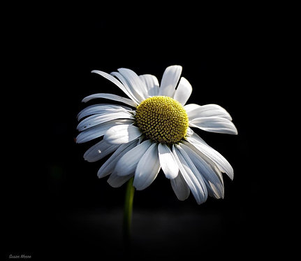 Daisy by Susan Moore