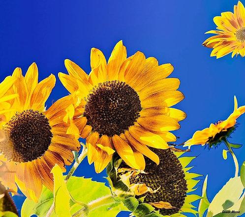 Susan Moore: Sunflowers