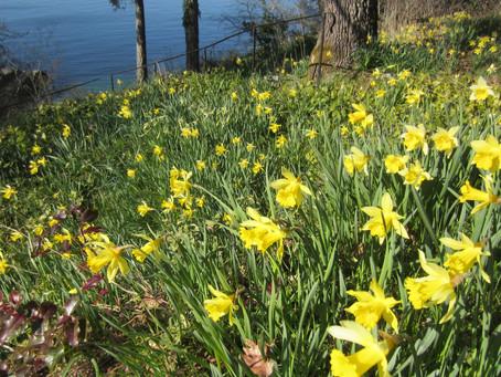 Still Daffodil