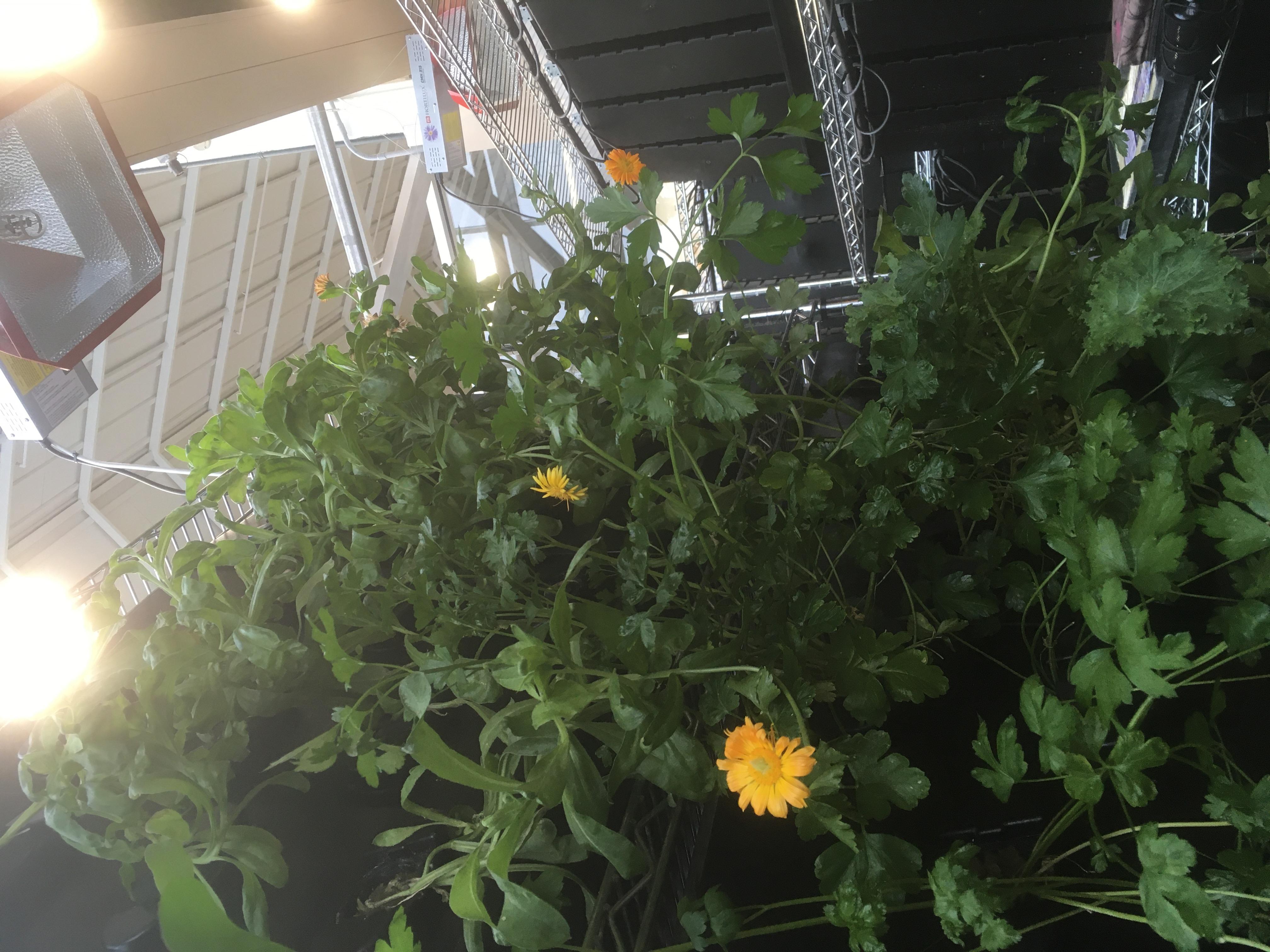 Calendula chez Les Botanistes