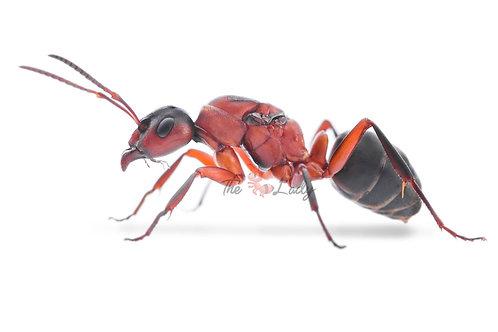 Formica Sanguine - slave maker ants